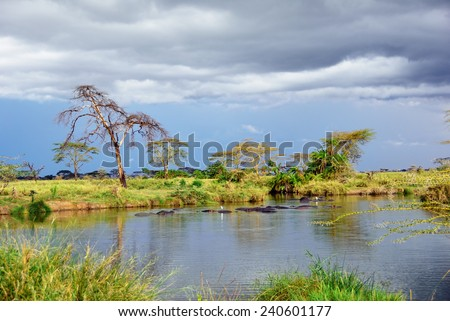 Hippo school at small pool in the Serengeti national park at sunset, Tanzania, Africa  - stock photo