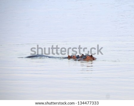 Hippo swimming in South Luangwa National Park, Zambia, Africa - stock photo