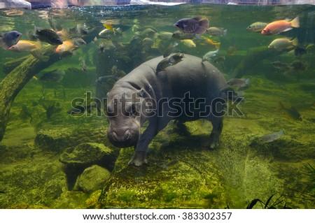 Hippo underwater, pygmy hippopotamus in water through glass, Khao Kheo open zoo, Thailand, animal wild life - stock photo