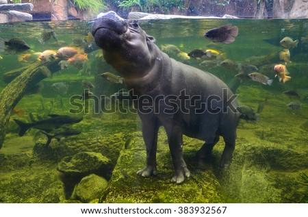 Hippo underwater, pygmy hippopotamus in water with fish  through glass, Khao Kheo open zoo, Thailand - stock photo