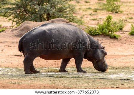 Hippo walks near a river - stock photo