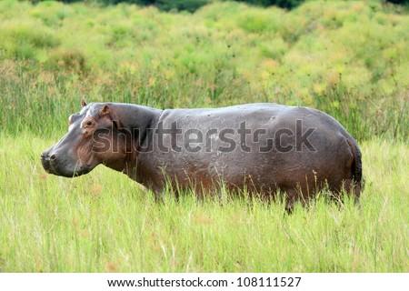 Hippopotamus at Murchison Falls National Park Safari Reserve in Uganda - The Pearl of Africa - stock photo