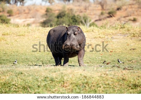 Hippopotamus - Chobe River, Chobe National Park, Botswana, Africa - stock photo