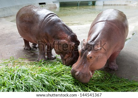 Hippo Eat Grass Royalty Free Stock Photography - Image ... |Hippo Eating Grass