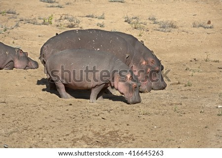 Hippopotamus feeding - stock photo