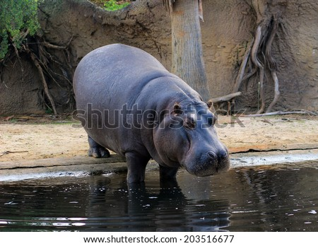 Hippopotamus going down in a water - stock photo