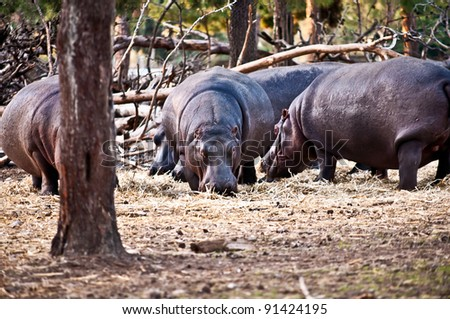 hippopotamus (Hippopotamus amphibius), or hippo , is a large, mostly herbivorous mammal in sub-Saharan Africa . - stock photo