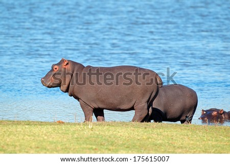 Hippopotamus (Hippopotamus amphibius) outside the water, South Africa  - stock photo