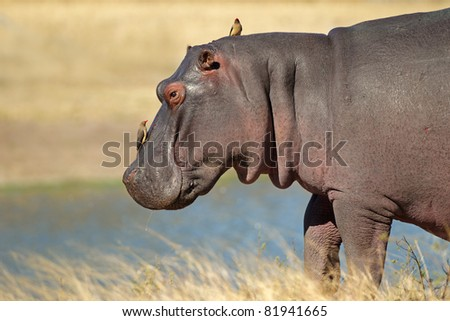 Hippopotamus (Hippopotamus amphibius) with oxpecker birds, Sabie-Sand nature reserve, South Africa - stock photo