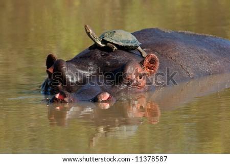 Hippopotamus (Hippopotamus amphibius) with terrapin on its back, Sabie-Sand nature reserve, South Africa - stock photo