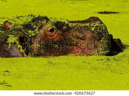 Hippopotamus in green algae filled river (Hippo) - stock photo
