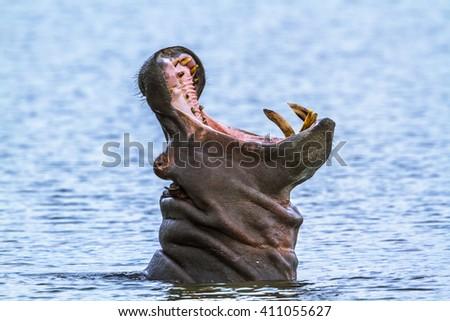 Hippopotamus in Kruger national park, South Africa ; Specie Hippopotamus amphibius family of Hippopotamidae - stock photo