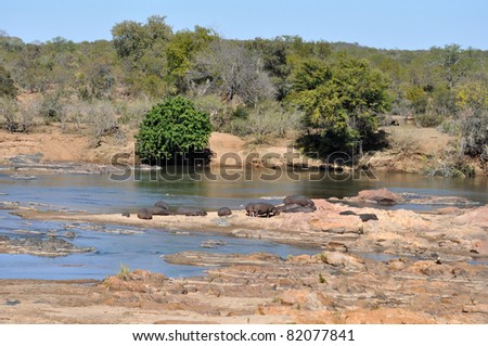 Hippopotamus in river, Kruger Park South Africa. - stock photo