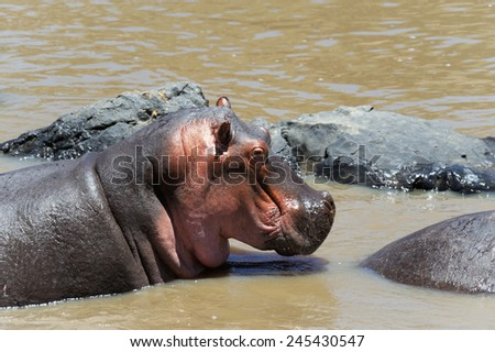 Hippopotamus in the National Reserve of Africa, Kenya - stock photo