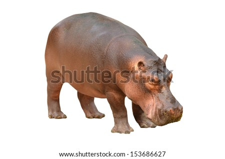 hippopotamus isolated on white background - stock photo