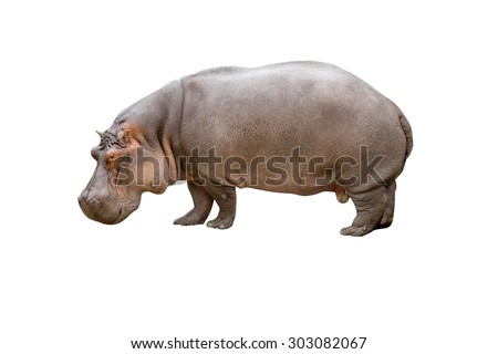 Hippopotamus isolated on white background with clipping path - stock photo