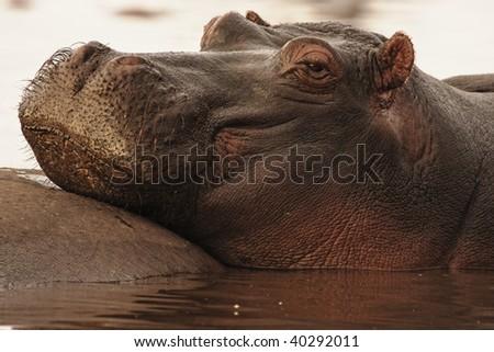 Hippopotamus resting in the early morning light in Lake Manyara in Lake Mayara National Park, Tanzania. - stock photo