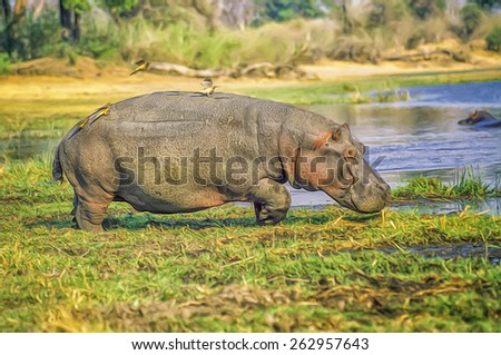 Hippopotamus walking towards his pond - stock photo