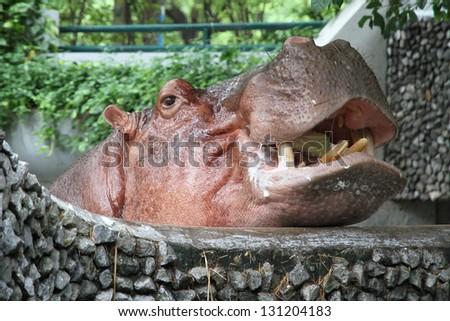 Hippopotamuses showing huge jaw and teeth. - stock photo