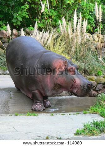 Hippoptamus full body - stock photo