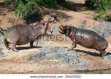 Hippos Fighting - Serengeti Wildlife Conservation Area, Safari, Tanzania, East Africa - stock photo