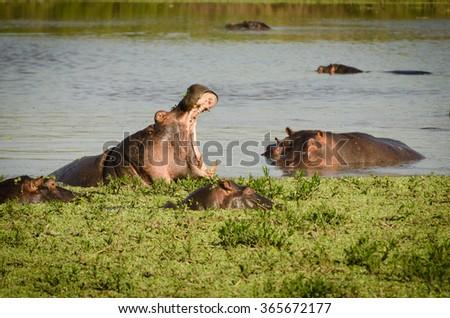 Hippos  in Masai Mara, Kenya - stock photo
