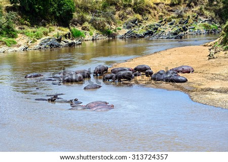 Hippos in the river Mara National Park Masai Mara - stock photo