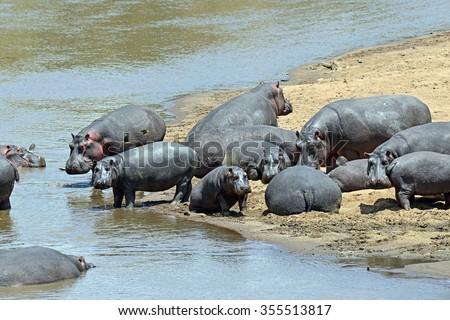 Hippos in the river Mara National Park Masai Mara - stock photo