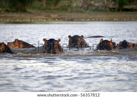 Hippos, Selous National Park, Tanzania - stock photo