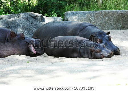 hippos with baby hippo - stock photo
