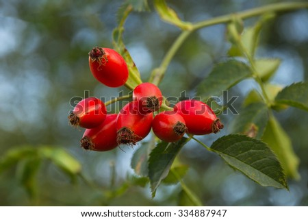Hips. Berry red fruit of wild rose  in autumn - stock photo