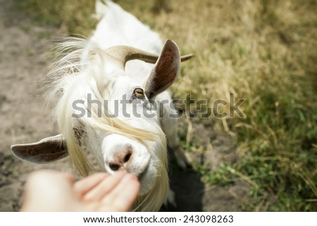 hipster looking goat wants to eat something from hand on the blurred grassy background. close up. selective focus - stock photo