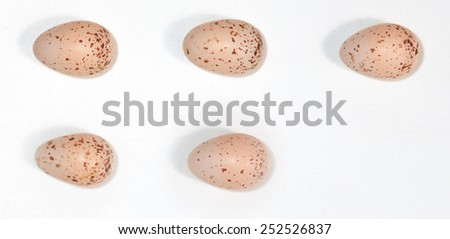 Hirundo rustica. The eggs of the Barn Swallow in front of white background, isolated. Russia, the Ryazan region (Ryazanskaya oblast), the Pronsky District, Denisovo. - stock photo
