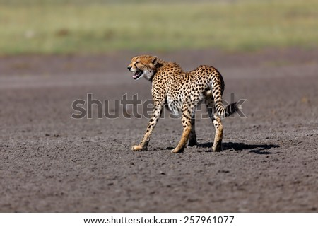 Hissing Cheetah male in the Marsh of Ngorongoro Conservation Area in Tanzania - stock photo