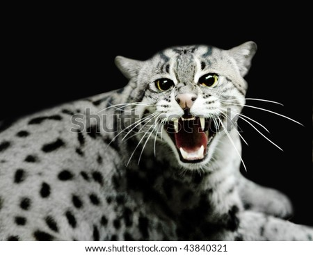 Hissing tiger cat - stock photo
