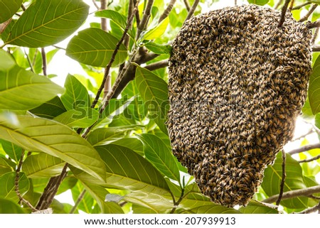 Hive of bees adhesion live on the branches of the jack fruit. - stock photo