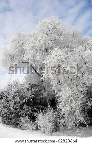 Hoar Frost on trees near Minneapolis Minnesota February 2010. - stock photo