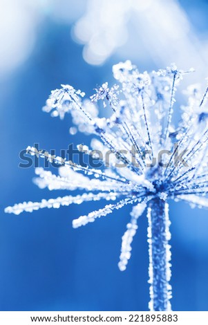 Hoarfrost on a plant in a winter garden - stock photo