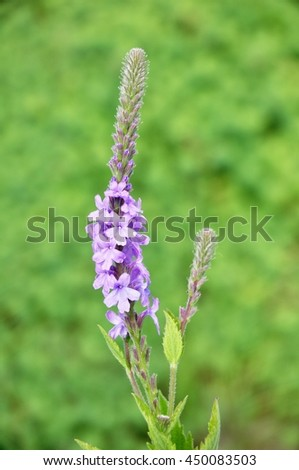 Hoary Vervain (Verbena stricta) Wildflower a Medicinal Herb - stock photo