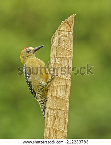 Hoffmann's Woodpecker perched on a post in Costa Rica. - stock photo