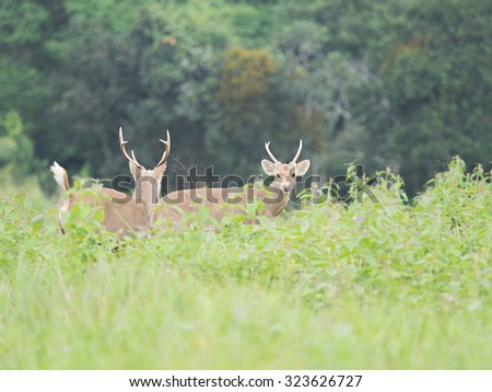 hog deer in an open field,wildlife - stock photo