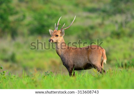 hog deer stand alone on grassland - stock photo