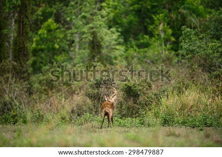 Hog deer with beautiful forest landscape in the morning time. - stock photo