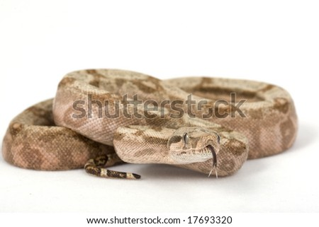 Hog Island Boa (Boa constrictor imperator) on white background. - stock photo