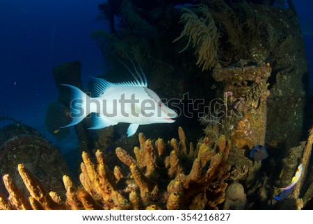 Hogfish on the Doc Poulson, Grand Cayman - stock photo