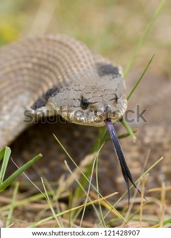 Hognose snake with it's tounge out - stock photo
