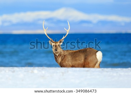 Hokkaido sika deer, Cervus nippon yesoensis, in the coast with dark blue sea, winter mountains in the background, animal with antler in the nature habitat, Japan - stock photo