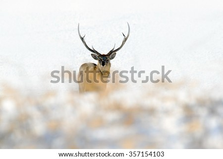 Hokkaido sika deer, Cervus nippon yesoensis, in the white snow, winter scene and animal with antler in the nature habitat, Japan - stock photo