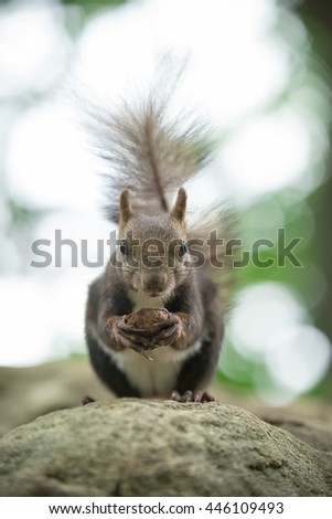 Hokkaido Squirrel eating a walnut. - stock photo
