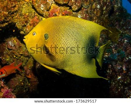 Holacanthus africanus (Guinean angelfish) - stock photo